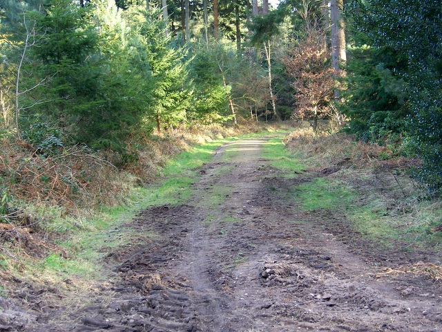 Bridleway, Puddletown Forest