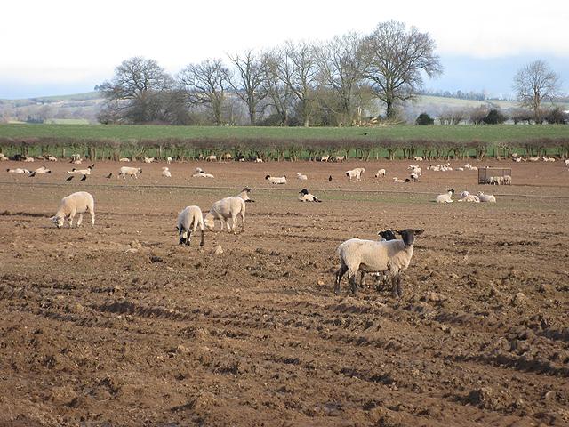 Lambs near Trothland Farm