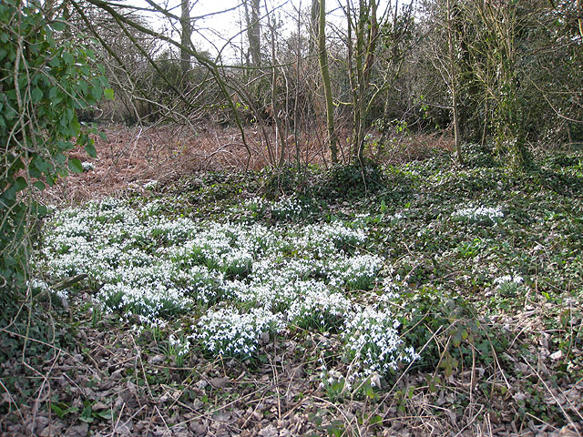Drifts of snowdrops