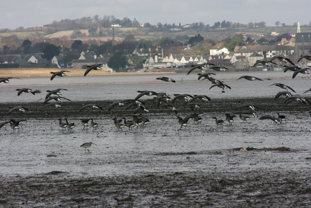 Brent Geese on the River Exe Estuary