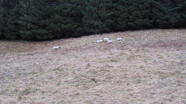 Sheep, Fruid
