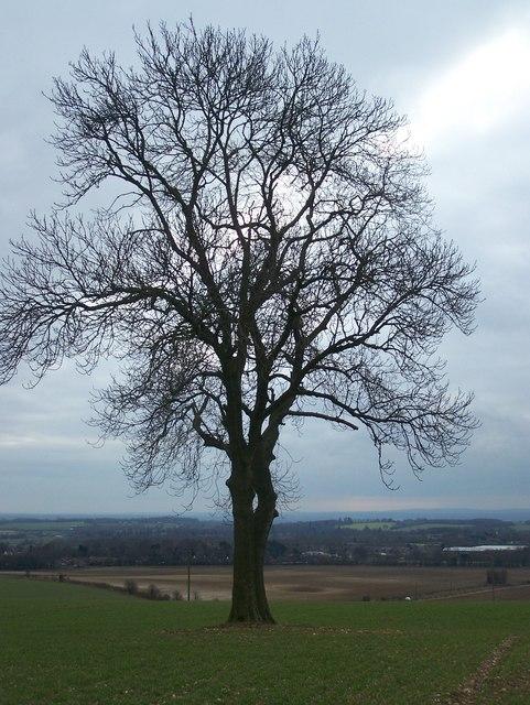 Oak Tree in Marlow Farm field