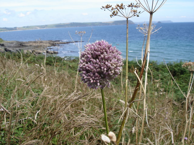 Allium sp - view towards Nare Head and Gull Rock