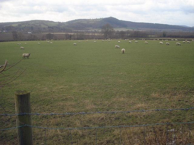 Large sheep pasture at Leinthall Barns Farm