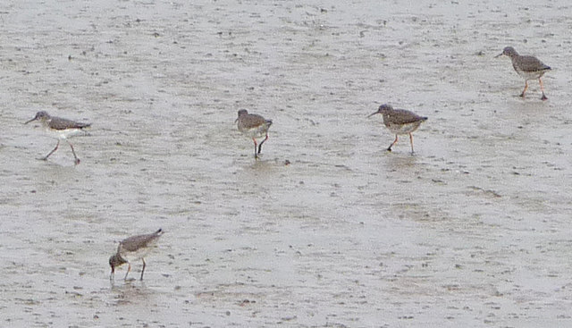 Redshanks on the Humber Foreshore