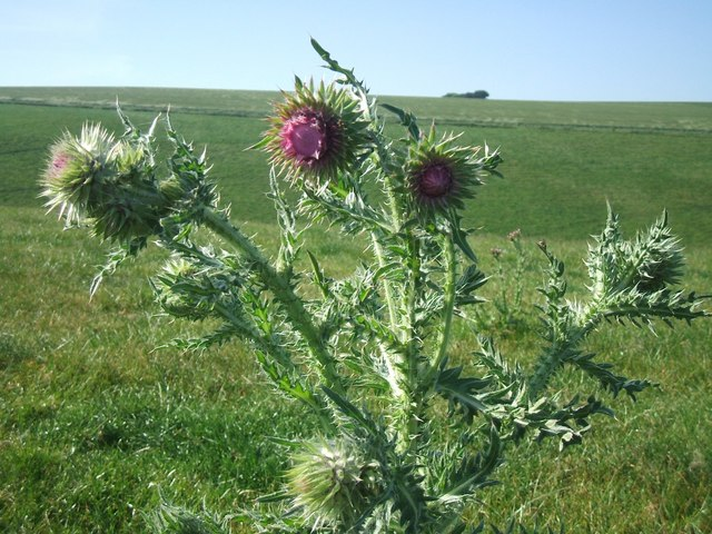 Thistle above Scabbacombe