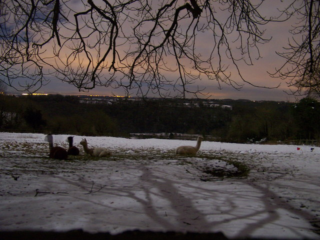 Alpacas in the snow in Winsley