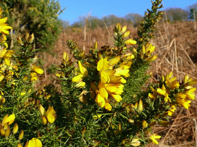 Of course it's gorse