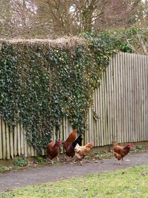 Chicken, Woodyates