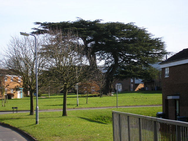 Cedar tree, Lydney, Hanworth