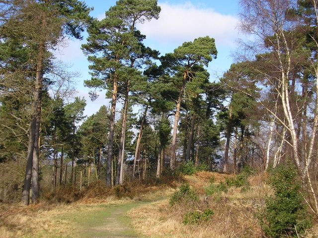 Pine trees, Caesar's Camp