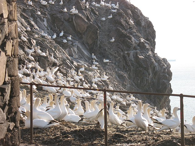 Gannets by St Baldred's Chapel