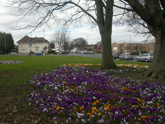Northbourne, crocuses
