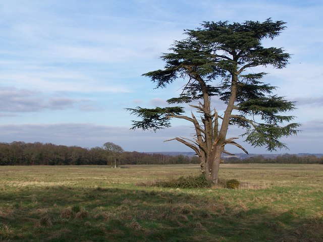 Isolated tree in field adjacent to Old Salisbury Lane