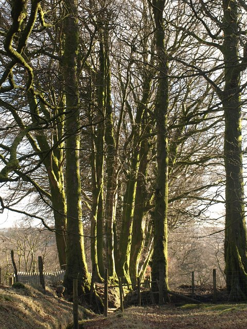 Beech trees at Lud Gate