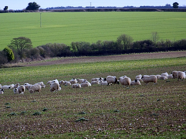 Sheep near Chettle