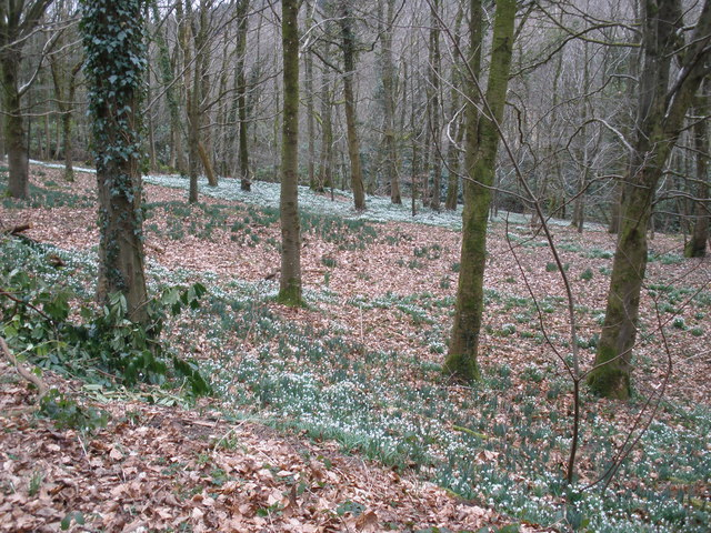 Snowdrop wood, near Otterford