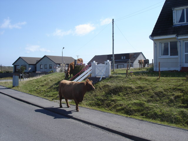 Fionnphort - cows by the road