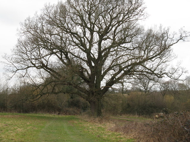Veteran Pedunculate Oak