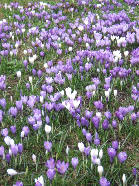 Crocuses in Woodbridge cemetery