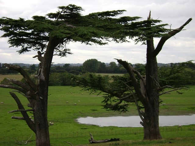 Warwick Castle Park: derelict cedars