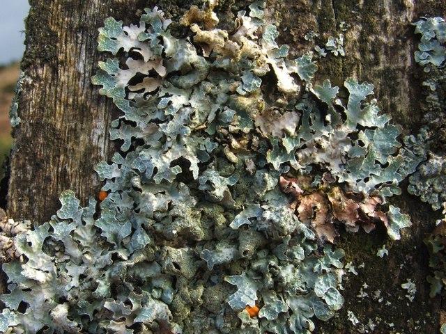 A lichen - Parmelia sulcata