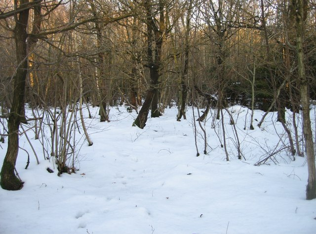 Snow on the woodland floor