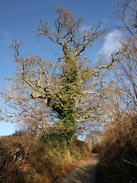 Oak above Cullaford