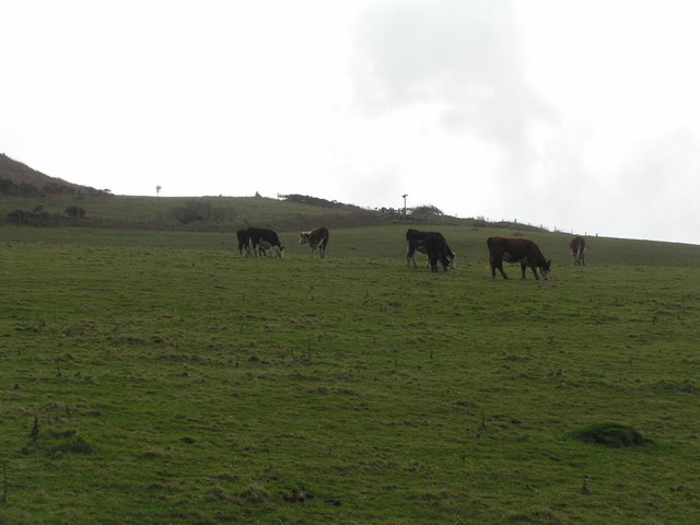Cattle grazing on the slopes of Golden Cap