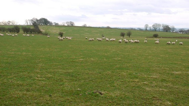 Sheep grazing west of Heugh