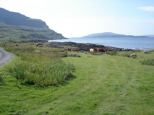 Cattle by Loch na Keal - view to the west