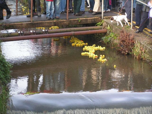 Duck Race, River Lim