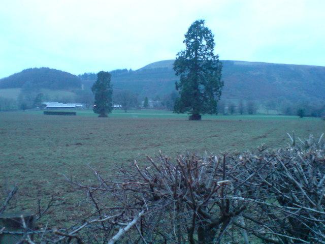 Wellingtonias as park trees