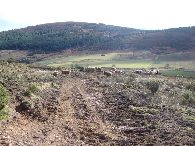 Cattle on track down from Lamawhillis