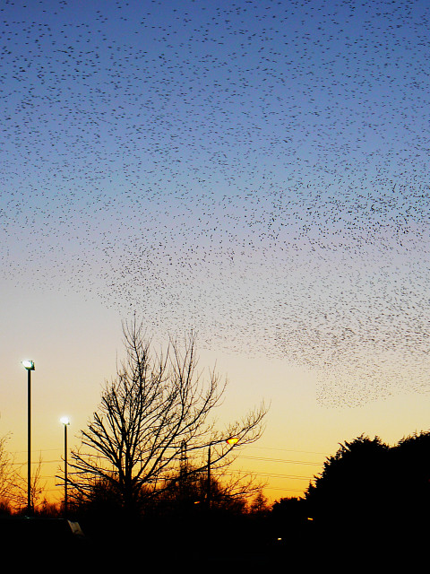 Starlings over Rodbourne, Swindon (1)