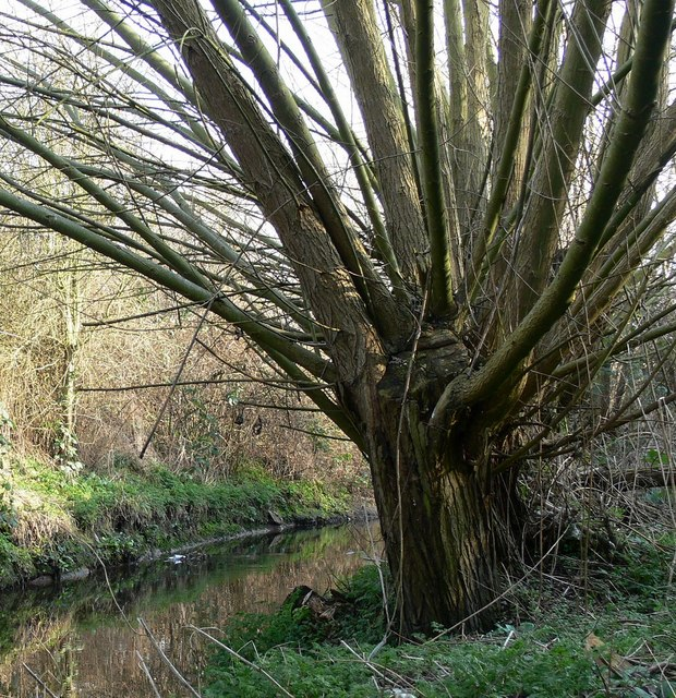Tree next to Saffron brook