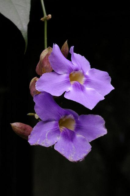 Orchid, Kew Gardens, Surrey