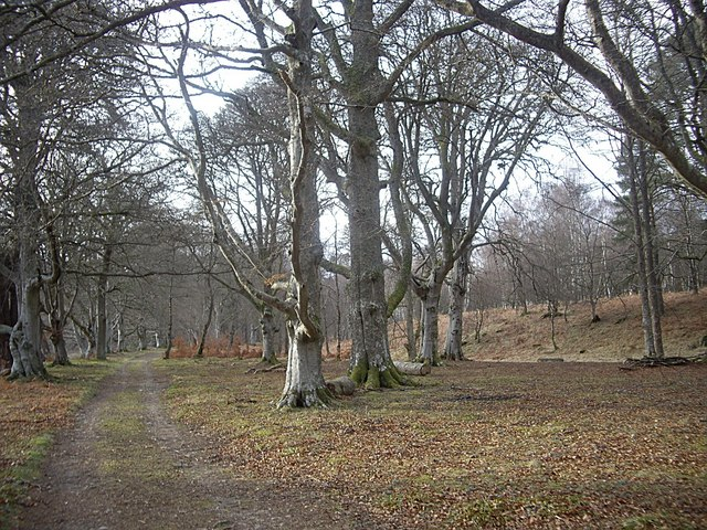 Mature beech wood