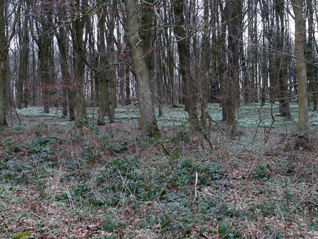 Snowdrops in Hall Wood, Matfen