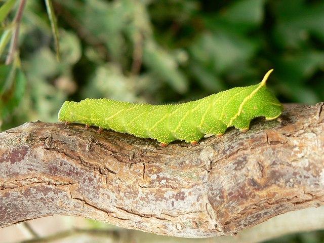 Caterpillar of the Poplar Hawk moth - Laothoe populi
