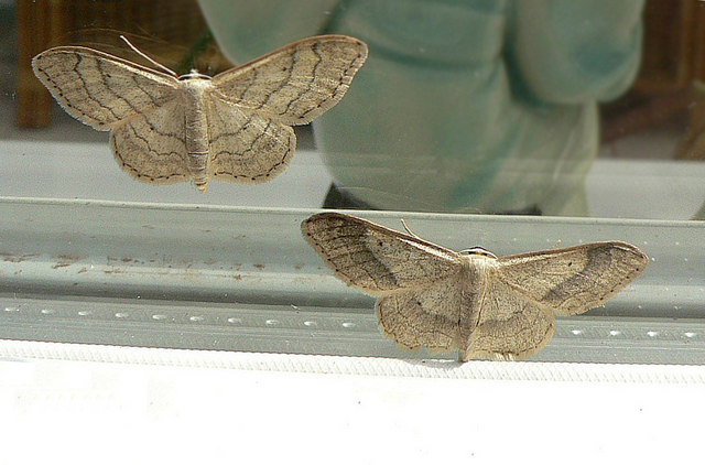 Riband Wave moths (Idaea aversata) - in defiance of the theory of selective breeding!