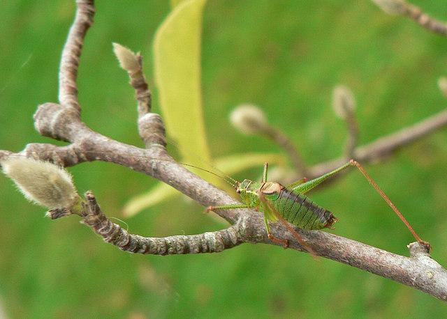Speckled bush cricket - Leptophyes punctatissima, Llantwit Major.