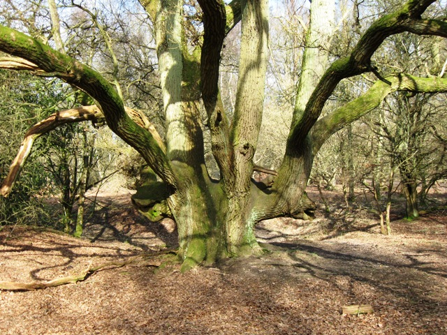 "Old ""Hedgerow"" Oak, Moneybury Hill"