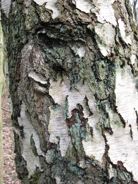 Bark on Old Silver Birch tree