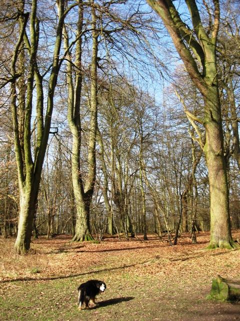 Beech Trees in Winter, Moneybury Hill