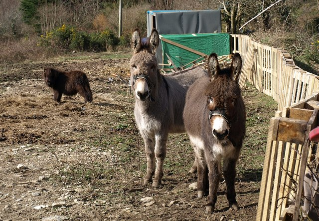Donkeys near Great South Tolgus Mine