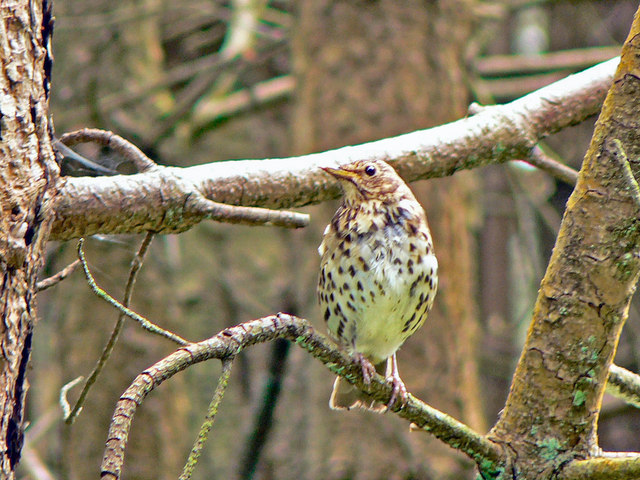 Song Thrush (Turdus philomelos), Afan Valley