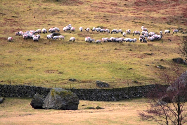 A Ring of Sheep