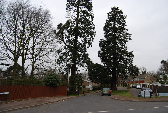 Two tall trees, Springhead, Ferndale