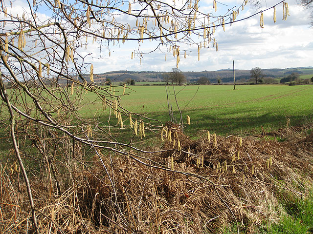Catkins by the Wye Valley Walk